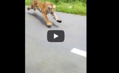 Internet w Szoku! Indie: Tygrys atakuje motocykl, kierujący otarł się o śmierć. Film znajduje się na portalu YouTube, musisz to zobaczyć!