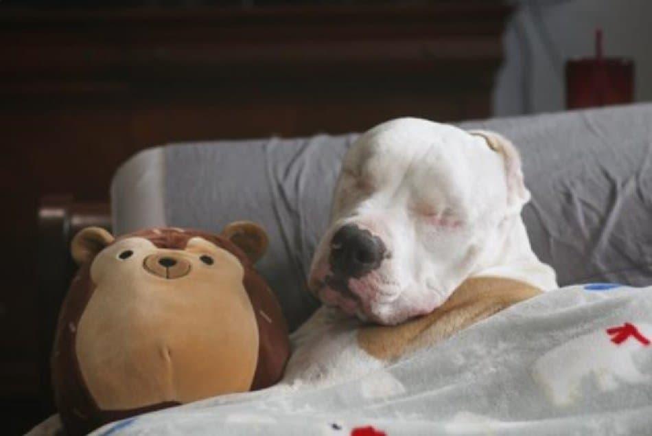 Niewidomy Pitbull Bear podbija Instagram. Suczka rasy Pitbull została potrącona przez samochód, niestety w wyniku obrażeń piesek został ślepy