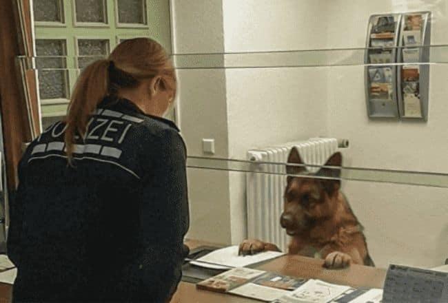Owczarek niemiecki to bardzo inteligentna rasa, przekonali się o tym policjanci gdy zagubiony pies odwiedził ich na komisariacie