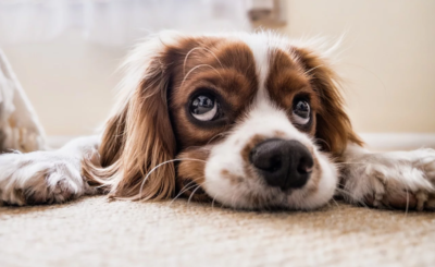 Jak się liczy wiek psa: powstał nowy kalkulator przeliczający lata psie na ludzkie. Teraz będziesz wiedział w jakim wieku jest Twój pies
