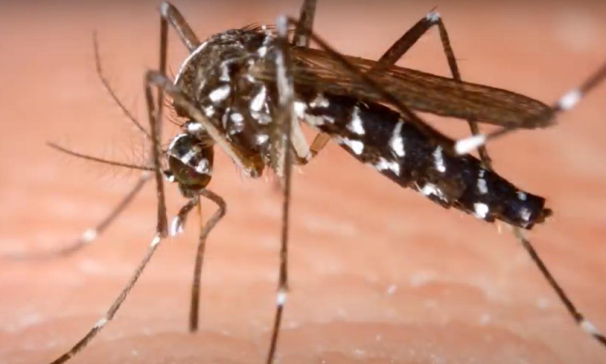 Groźny azjatycki komar tygrysi znajduje się już w Europie, jego ukąszenie może okazać się śmiertelne, gdyż ten gatunek komara roznosi groźne choroby