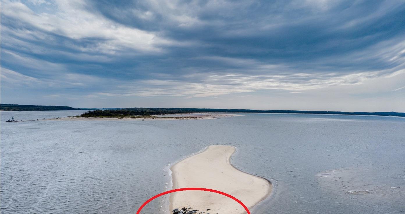 Zdjęcia fok wylegujących się na wyspie stały się hitem w sieci, to dość rzadkie zjawisko, Gdańsk dawno czegoś takiego nie widział.