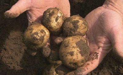 Pewna malutka Rosjanka straciła niemal całą rodzinę, a ich śmierć nastąpiła przez ziemniaki. W jaki sposób to się stało?